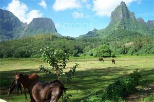 Pferde auf Moorea