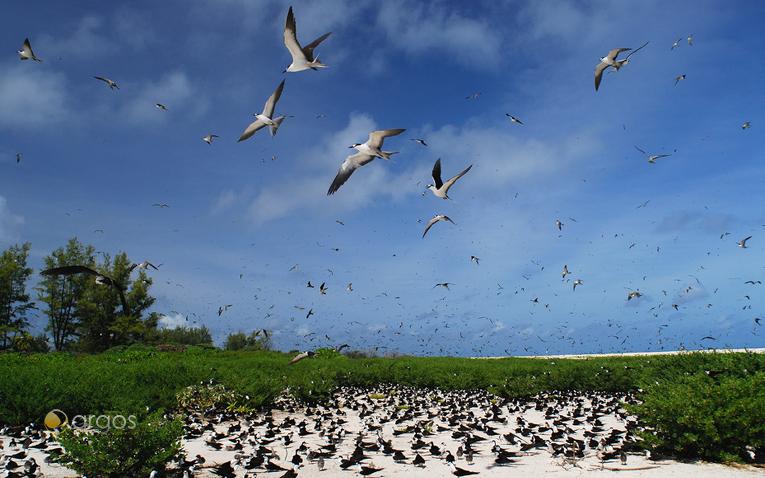 Sooty Tern Kolonie
