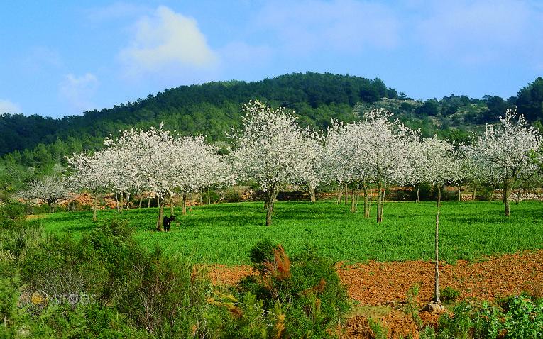 Mandelbäume in San Mateo auf Ibiza