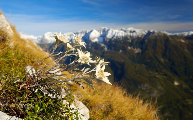 Edelweiss an den südlichen Hängen des  Bavški Grintovec
