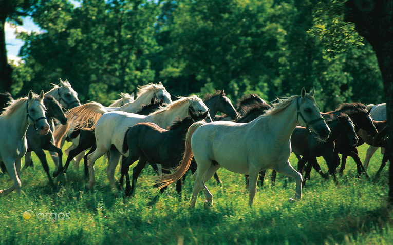 Lipizzaner Pferde