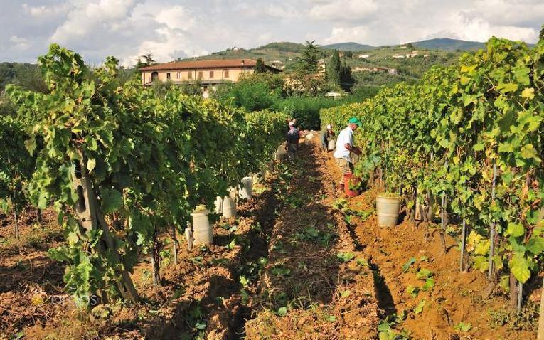 Weinberge in der Provinz Pistoia
