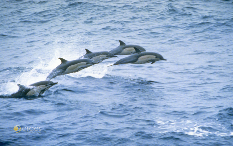 Delfine im Golf von Kalifornien