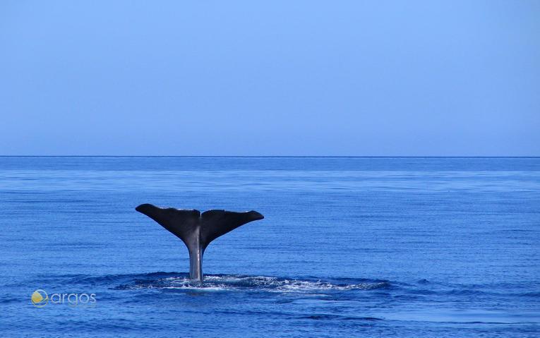 Whale-Watching auf den Azoren