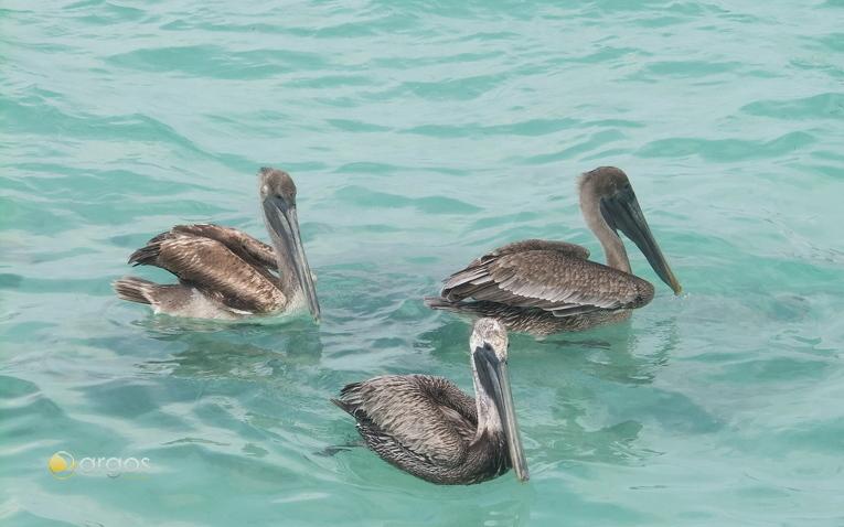 Perlikane in Pelican Cays - Belize