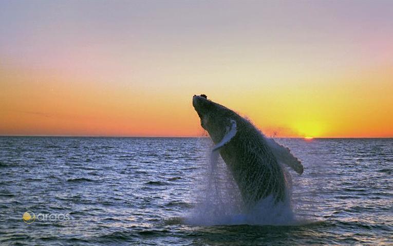 Buckelwale im Meer vor Hólmavik