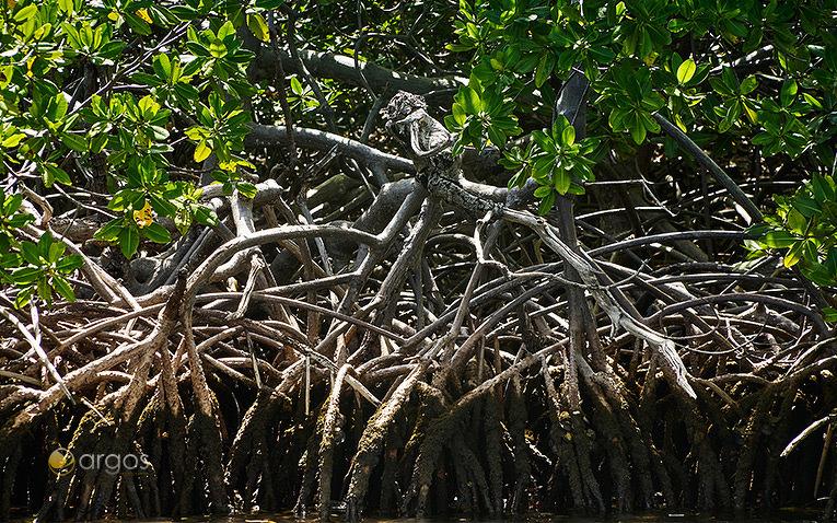 Mangroven auf der Halbinsel La Caravelle