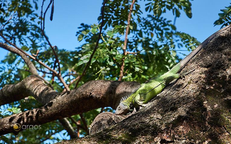 Leguan auf Martiniques Halbinsel La Caravelle