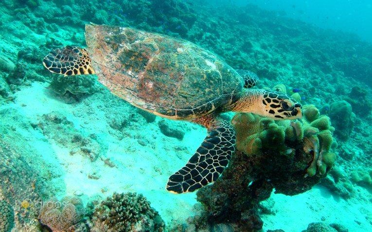 Hawkbill Meeresschildkröte