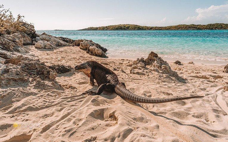 Leguan zum Streicheln - Iguana Island