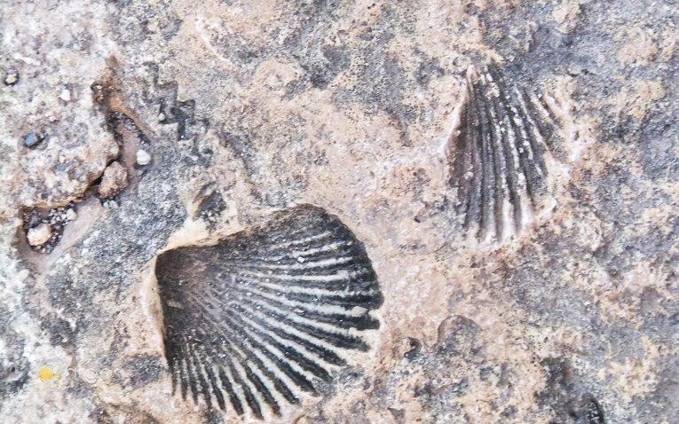 Muschelfossillen in Ek Balam